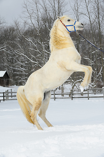 White horse rearing up in winter snow while performing tricks, beautiful Araabian stallion in Pennsylvania, PA, USA.