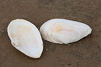 Sandklaffmuschel, Sand-Klaffmuschel, Klaffmuschel, Sandmuschel, Mya arenaria, Arenomya arenaria, Schale, Muschelschale am Strand, Spülsaum, Soft-shell clams, steamers, softshells, longnecks, piss clams, Ipswich clams, Essex clams