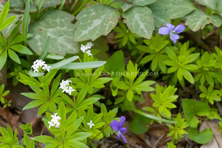 Galium odorata, Pachysandra procumbens, Viola, woodland shade groundcovers
