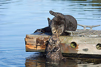Sea Otter (Enhydra lutris) mom helping pup up onto boat dock.