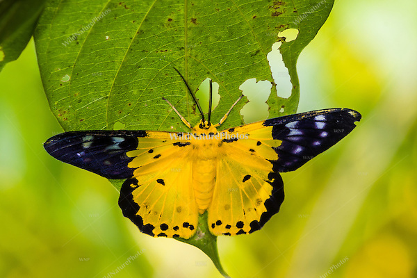 The Yellow Moth (Dysphania sagana) is also known as the Geometer Moth. (Cambodia)