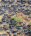 Aerial of African bush elephant herd (Loxodonta africana) amassed for protection against poachers, Zakouma National Park, Chad<br />
