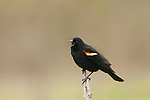 Red winged blackbird male singing