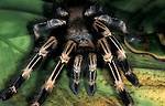 Brazilian Red & White Spider, Vitalis cristata, Tarantula, on green leaves.Brazil....