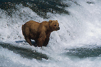 Brown Bear fishing for Salmon at McNeil River Falls. Summer in Southwest Alaska.