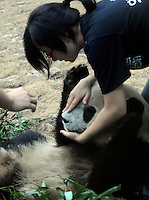 Pandas that were brought from the damaged Wolong panda reserve to Beijing with thier keeper in Beijing Zoo, 14th August 2008.   Eight tramatised one and two year-old  pandas were brought from Wolong to Beijing for recuperation and have been placed in aan Olympic Panda exhibition at Beijing zoo and are recieving unprecadented number of visitors.  The pandas were so scaerd during the quake and refused to come down from the trees. The Wolong keepers that accompanied the pandas to Beijing cuddle and play with pandas to help them recover from their horrific experience. <br />