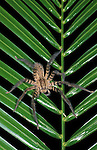 Huntsman Spider, Heteropoda, Belize, on green palm leaf.Belize....
