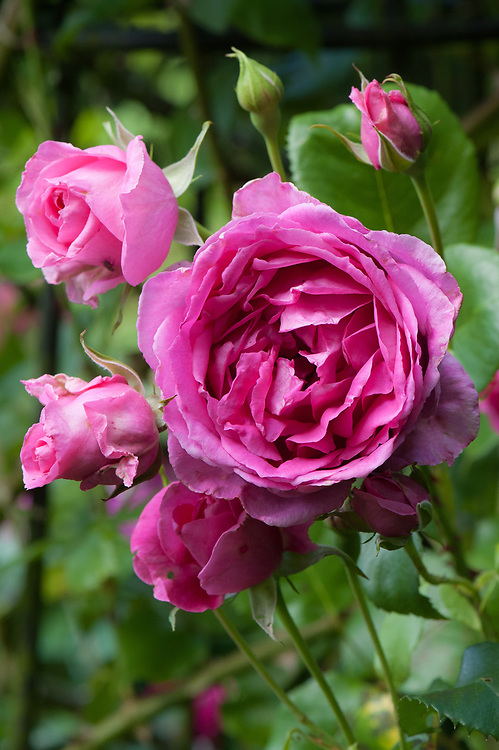 Rosa 'Parade', mid June. A bright pink, modern climbing rose from the 1950s.