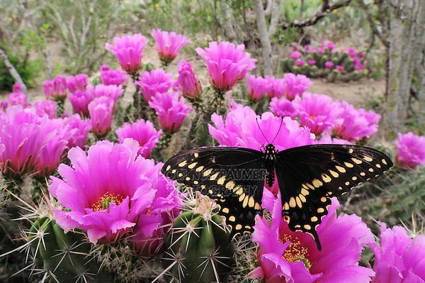Black Swallowtail (Papilio polyxenes), male feeding on Strawberry Hedgehog Cactus (Echinocereus enneacanthus), Laredo, Webb County, South Texas, USA