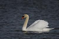 Mute Swan, San Angelo, Texas