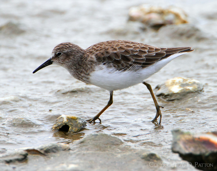 Least sandpiper in mid-Sept