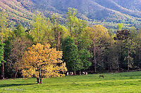 Horses grazing in meadow, <br /> Cades Cove,<br /> Great Smoky Mountains N.P. TN