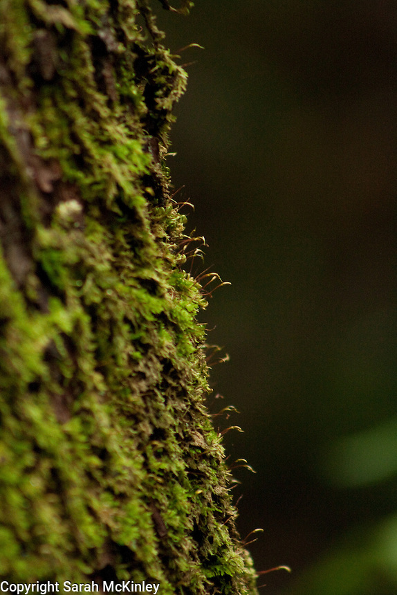 Tiny sporophytes stand out from moss growing on the trunk of a tree near Lake Sonoma near Healdsburg in Sonoma County in Northern California.