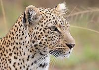 Leopard Portrait   Kenya 2015