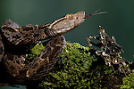 Fer-de-lance (Bothrops asper), Costa Rica. Captive.