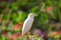 Cattle Egret (Bubulcus ibis). Maui. Hawaii