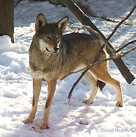 0221-1003  Critically Endangered Red Wolf in Snow, Canis rufus (syn. Canis niger)  © David Kuhn/Dwight Kuhn Photography.