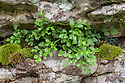 Wall Rue Spleenwort (Asplenium ruta-muraria) growing out of a fissure in a limestone cliff. Lathkill Dale NNR, Peak District National Park, UK. June.