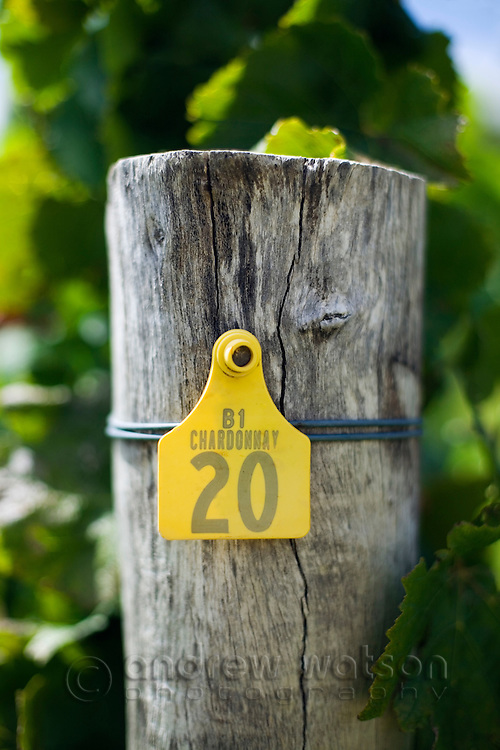 Chardonnay grape vines in the renowned wine region of Margaret River, Western Australia, AUSTRALIA.