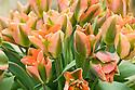 Tulip 'Artist' (Viridiflora Group), mid May. Raised in 1947 by Captein Bros.