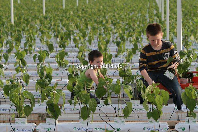 Foto: VidiPhoto..BEMMEL - Jong en oud steken woensdag de handen uit de mouwen bij paprikateler Van der Kleij-Tas uit Bemmel. In twee dagen tijd moeten er 80.000 plantjes de grond in en dan is ook de hulp van Tim (3) en Robin (9) welkom. Tim helpt zijn broer met aan aangeven van de plantjes of het duwen van de kar. De Betuwse paprikateler heeft dit jaar gekozen voor het nieuwe ras Maranello, waarvan de paprika's sneller kleuren en een hogere oogst geven. De paprika's van de teler zijn deels bestemd voor de jams en sauzen van Tas-toe..