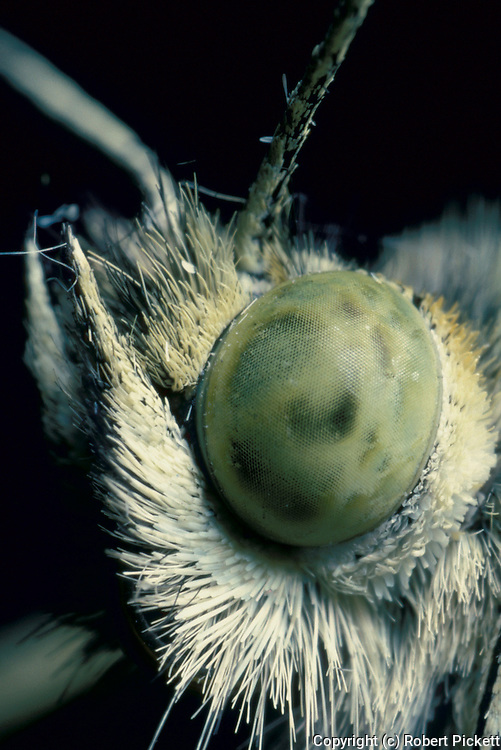 Large / Cabbage White Butterfly (Pieris brassicae) - close up of compound eye, macro.United Kingdom....