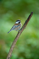 Juvenile Chestnut-backed Chickadee