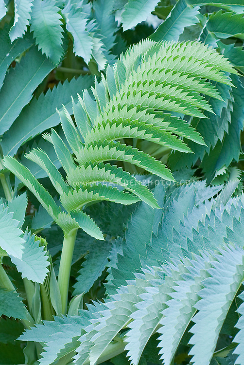 Blue leaves of finely serrated Melianthus major Antonow's Blue honey bush