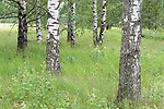 Silver Birch woodland, Betula pendula and meadow, Kangasala, Finland,