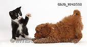Kim, ANIMALS, REALISTISCHE TIERE, ANIMALES REALISTICOS, fondless, photos,+Black-and-white kitten, Solo, 7 weeks old, playfully dabbing at F1b toy Cavapoo puppy.,++++,GBJBWP42502,#a#