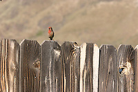 House finches are fairly common in eastern Washington.