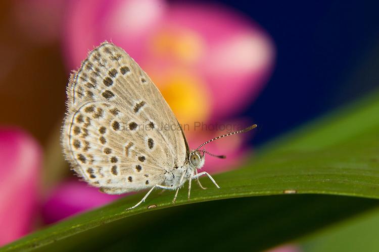 SE Asia, Thailand, Khon Kaen, The pale grass blue Butterfly (Pseudoszizeeria maha maha) on Leaf