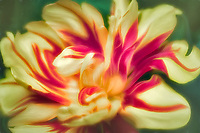 Close up of tulip flower.