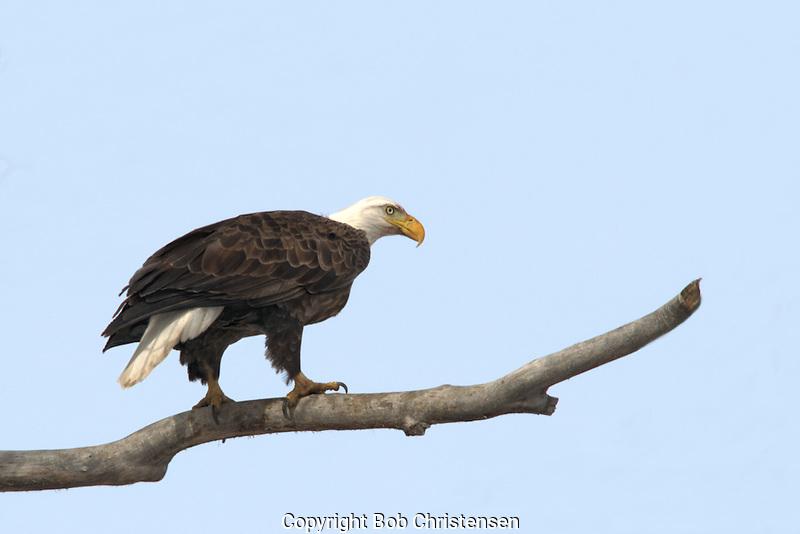 Montana wildlife photos - eagles