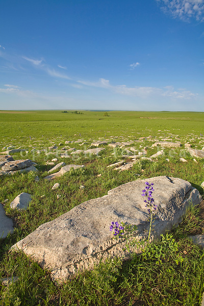 Limestone rocks exposed on surface showing shallow soils at Tallgrass Prairie National Preserve in the Flint Hills near Strong City, Kansas, AGPix_0609