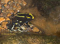 1023-07rr  Dendrobates tinctorius ñ Dyeing Poison Arrow Frog ñ Tincs Dart Frog © David Kuhn/Dwight Kuhn Photography