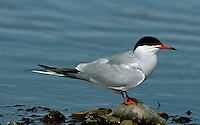 Common Tern Sterna hirundo L 35cm. Similar to Arctic Tern but separable with care. Sexes are similar. Adult in summer has grey upperparts, black cap and whitish underparts. Compared to Arctic, note black-tipped orange-red bill, longer red legs, and paler underparts. In flight from below, only inner primaries look translucent and wings have diffuse dark tip. Non-breeding plumage (sometimes seen in late summer) is similar but has white on forehead and dark shoulder bar; bill and legs are dark. Juvenile has white underparts, incomplete dark cap and scaly grey upperparts; in flight from above, leading and trailing edges of inner wing are dark. Voice Utters harsh kreeear call. Status Widespread summer visitor, commonest on coasts; also nests on flooded gravel pits and reservoirs. Widespread coastal passage migrant.