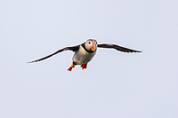 bird, Atlantic Puffin in flight Fratercula arctica Newfoundland CANADA