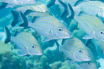 Bonaire, Netherlands Antilles; schooling Ceasar Grunt fish swim in unison over the coral reef , Copyright © Matthew Meier, matthewmeierphoto.com All Rights Reserved