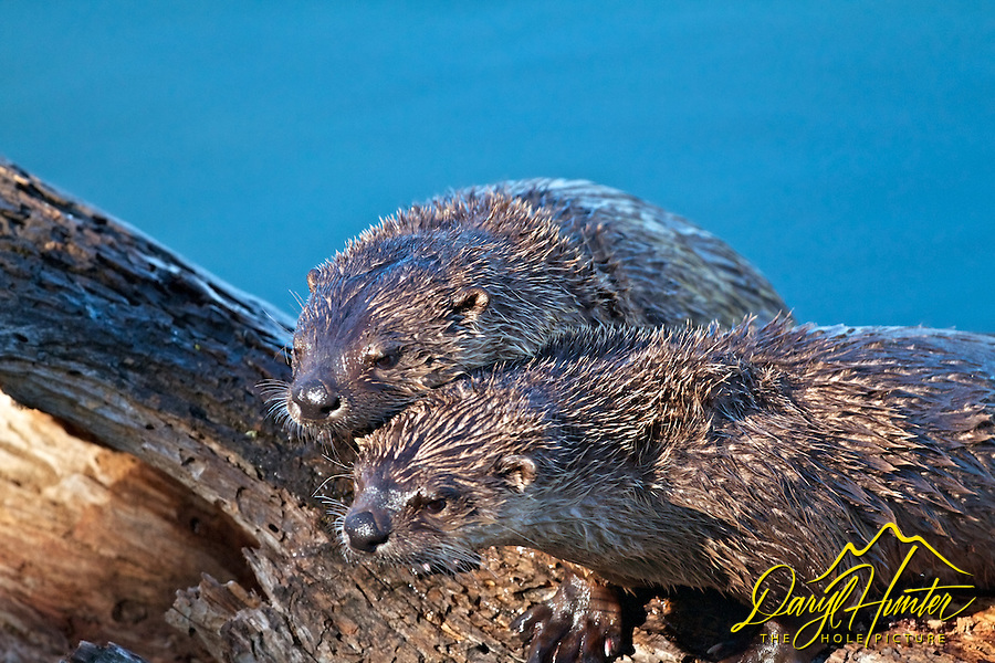 Mating pair of River Otters, Trout Lake, Yellowstone National Park