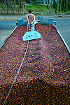 Coffee farmer pulls a metal palette to the back of his truck to begin the process of pushing his load of coffee cherries or berries into a weighing station at a coffee cooperative.