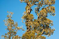Totara tree of native rainforest, Westland Tai Poutini National Park, UNESCO World Heritage Area, West Coast, New Zealand, NZ
