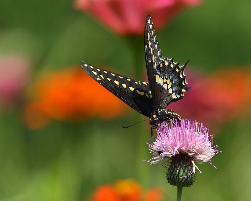 Black Swallowtail on wild thistle.