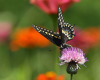 Black Swallowtail on wild thistle.