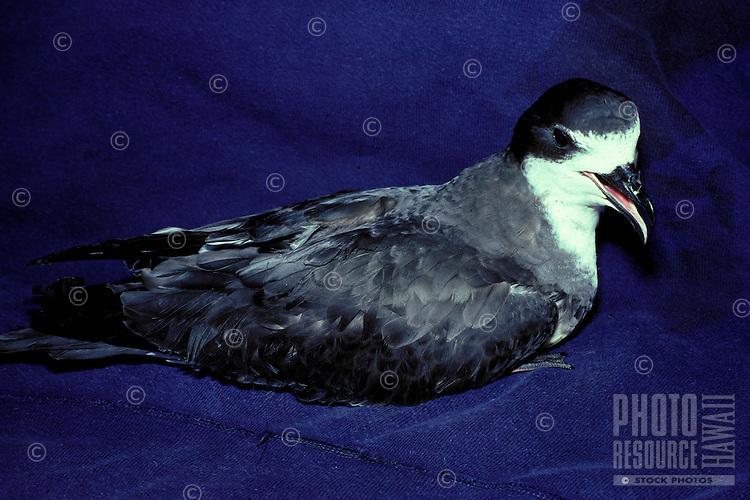 Petrel endangered dark rump