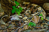 489250004 a captive gaboon viper bitis gabonica sits coiled in leaf litter species is a ground dwelling deadly viper it is the heaviest and has the longest fangs of any viperid and is native to western sub-saharan africa