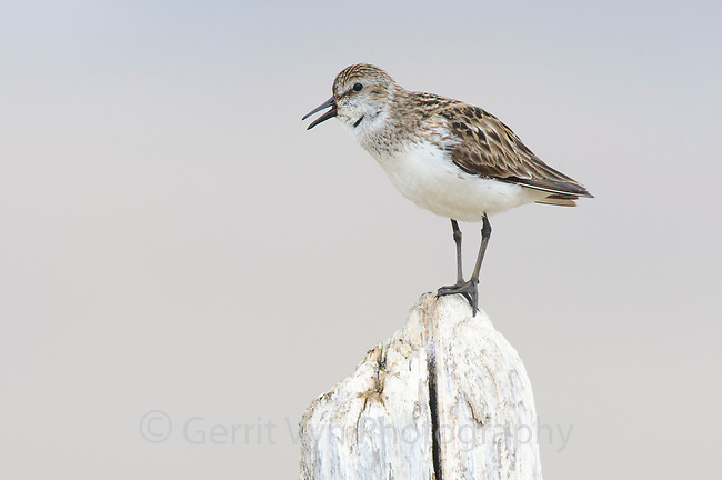 "Adult male Semipalmated Sandpiper (Calidris pusilla) vocalizing from a piece of driftwood. Bird is giving the ""motorboat"" vocalization. Seward Peninsula, Alaska. June."