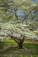 Flowering Dogwood in spring at the Blanchard Springs Caverns Recreation Area.