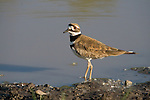 Killdeer (Charadrius vociferus) standing in the water