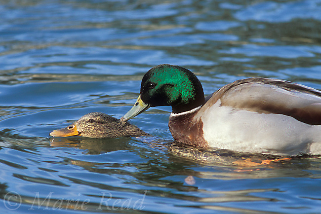 Mallard (Anas platyrhynchos), pair copulating in water, California, USA<br /> Slide # B24-81